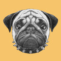 Portrait of Pug Dog with collar.