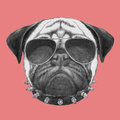Portrait of Pug Dog with collar and sunglasses.