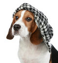 Portrait of puppy Beagle in a cap Stock Images