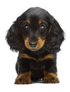 Portrait of puppy of Dachshund Stock Photo