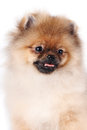 Portrait of a puppy of a spitz-dog Stock Images