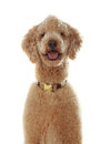 Portrait pure breed beige poodle isolated white background Royalty Free Stock Photos