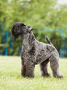 Portrait of purebred kerry blue terrier dog on the green background Stock Photography