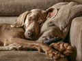 Portrait of purebreed weimaraner and isolated dog sleeping on the couch with the remote control between the legs Stock Photos