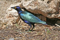 Portrait purple glossy starling Royalty Free Stock Photo