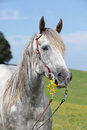 Portrait of quarter horse holding yellow flower Royalty Free Stock Photo