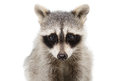 Portrait of a raccoon closeup Royalty Free Stock Photo