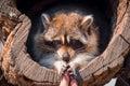 Portrait of raccoon Royalty Free Stock Photo
