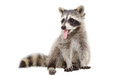 Portrait of a raccoon, that shows tongue Royalty Free Stock Photo