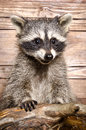 Portrait of a raccoon Royalty Free Stock Photo