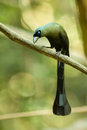 Portrait of racket tailed treepie crypsirina temia in nature Royalty Free Stock Image