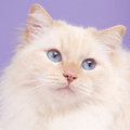 Portrait of a ragdoll cat Royalty Free Stock Images