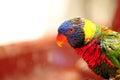 Portrait of Rainbow Lorikeet bird in Florida Royalty Free Stock Photo