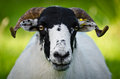 Portrait of a ram curious in the north yorkshire moors national park Stock Photo