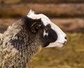 Portrait of a ram. a ram. farm animal a ram. lamb. Farm animals