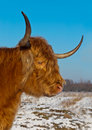 Portrait of a red colored Highland cow Stock Images