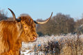 Portrait of a red colored Scottish Highlander cow Stock Photography