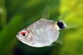 Portrait of red eye tetra a close up a fish Stock Image