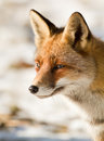 Portrait of a red Fox Royalty Free Stock Photography