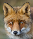 A portrait of a red fox Royalty Free Stock Photo