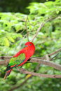 The portrait of Red lory parrot Stock Image