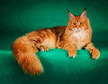 portrait of red maine coon cat on green background Royalty Free Stock Photo
