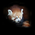 Portrait of a red panda on black background Stock Image