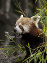Portrait of a red panda Royalty Free Stock Photo