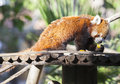 Portrait of a Red Panda eating fruits Royalty Free Stock Photo