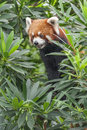 Portrait of Red Panda, Firefox Royalty Free Stock Photo
