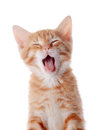 Portrait of a red yawning kitten on white background striped small predator Royalty Free Stock Photography