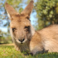 Portrait about a resting kangaroo Royalty Free Stock Photo