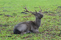 Portrait of resting mature fallow deer buck with winter dark unspotted pelt grey Royalty Free Stock Photo