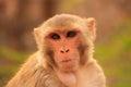 Portrait Of Rhesus Macaque (Ma...
