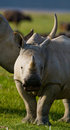 Portrait of a rhino. Kenya. National Park. Africa. Royalty Free Stock Photo