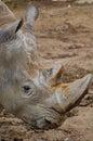 Portrait of rhinoceros Royalty Free Stock Image
