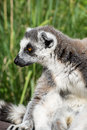 Portrait of a Ring-tailed lemur Royalty Free Stock Photo