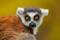 Portrait Of Ring-tailed Lemur,...