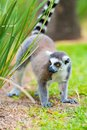 Portrait of Ring-tailed Lemur, native to Madagascar Royalty Free Stock Photo