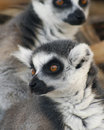 A portrait of ring tailed lemurs close lemur catta Royalty Free Stock Photo