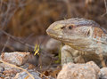 Portrait of a Rock Monitor Royalty Free Stock Photo