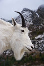 Portrait of a Rocky Mountain Goat Royalty Free Stock Photo
