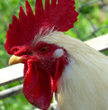 Portrait of rooster Stock Photos