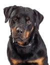 Portrait Rottweiler Dog Drooling