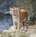 Portrait of a royal bengal tiger alert and staring at the camera Stock Image