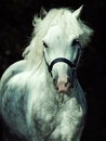 Portrait of running gray welsh pony at dark background sunny day Royalty Free Stock Photo