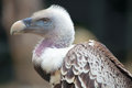 Portrait of a Ruppell's Griffon Vulture Royalty Free Stock Photo