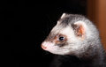 Portrait of sable ferret sideview close up Royalty Free Stock Photography
