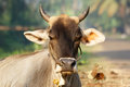Portrait of the sacred cows of India, Kerala, South India Royalty Free Stock Photo