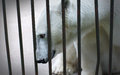 Portrait of a sad and lonely polar bear in a cage hiding nb the focus is on the Royalty Free Stock Images